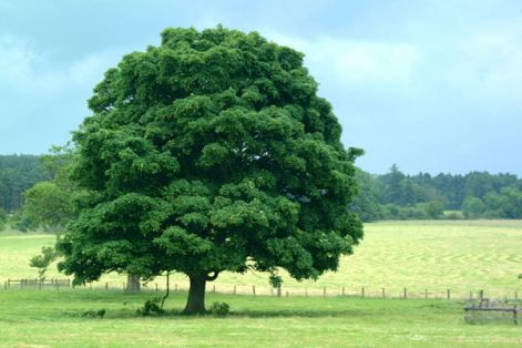 bigtreegreen.jpg