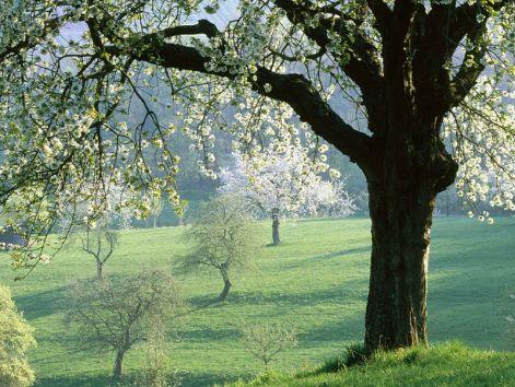 cherrytree5.jpg
