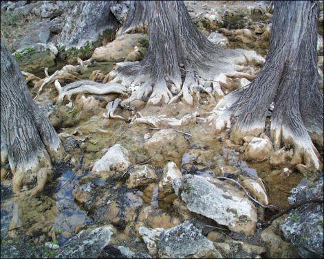 cypresstreeroots.jpg