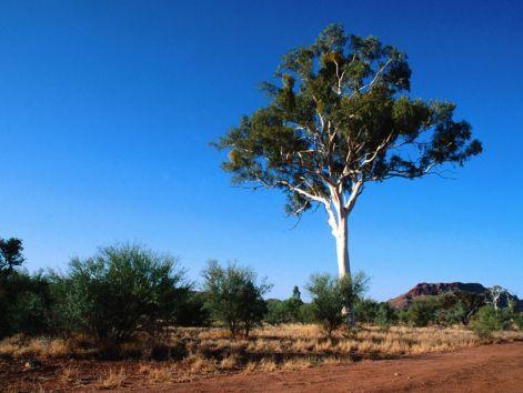 gum-tree.jpg