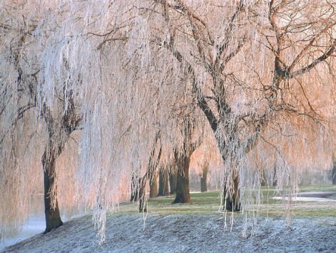 icewillowtrees.jpg