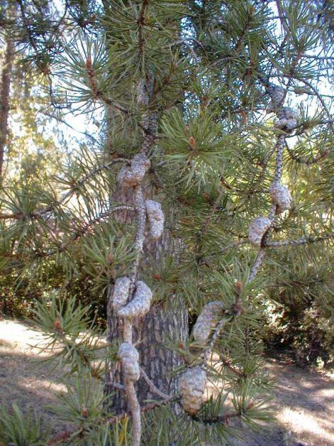 jack-pine-tree2.jpg