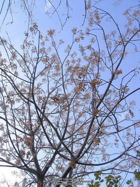 persian-lilac-tree.jpg