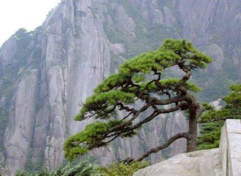 pine-tree-picture2.jpg