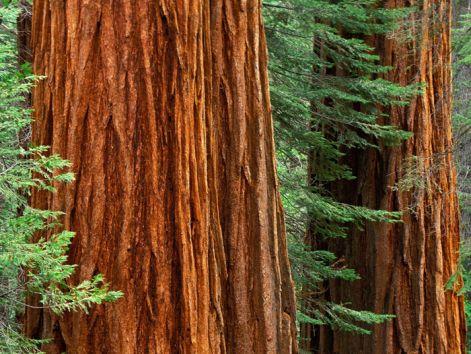 sequoia-trees.jpg