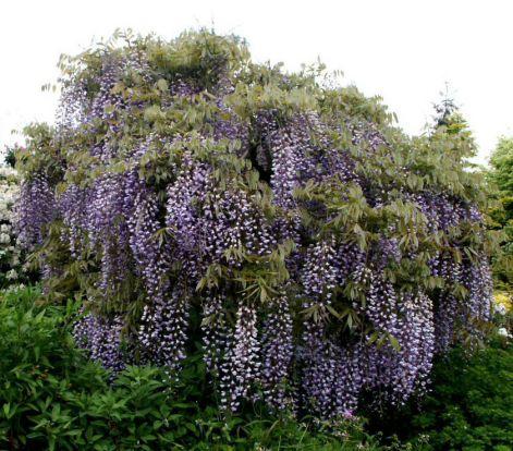 wisteria-tree.jpg